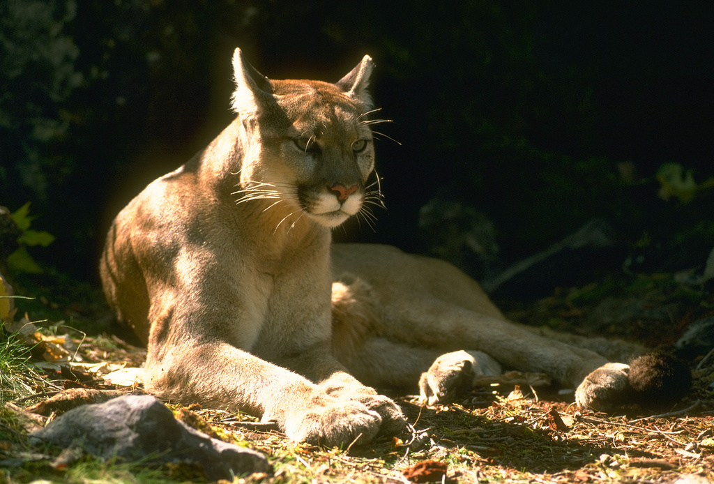 A California mountain lion.