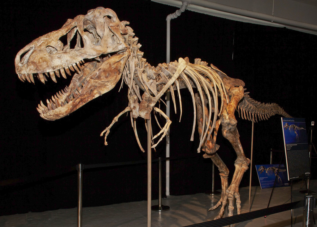 An image from documents released from the U.S. Attorney's office, Monday, June 18, 2012 shows the fossil of a Tyrannosaurus bataar dinosaur at the center of a lawsuit demanding its return to Mongolia. A lawsuit brought by the U.S. government demanded Monday June 18, 2012, the fossil be turned over to the United States by an auction house so that it can be returned to its home in Mongolia.
