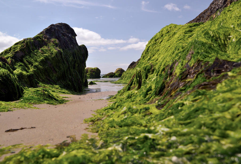 Sea algae at low tide along the Irish coast. Seaweed was long a part of Irish cuisine. Nutrient-rich, it helped some survive the Great Famine. Irish cooks reviving the practice say it's not just good for you – it's a zap of flavor from the sea.