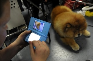 Maddox the Chow Chow backstage during the 135th Westminster Kennel Club Dog Show at Madison Square Garden in New York on Feb. 14, 2011.