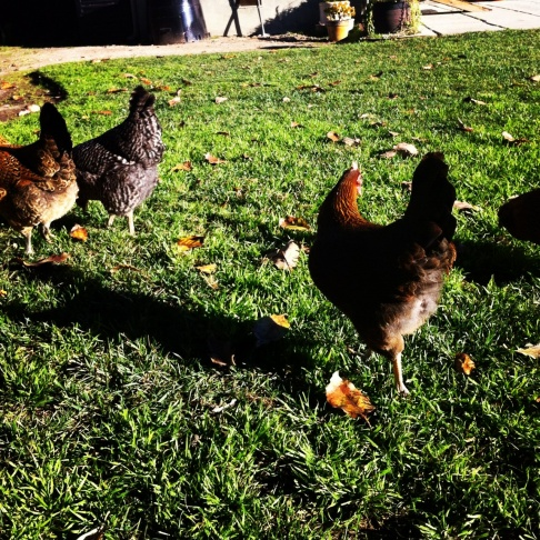 Hens on a walk