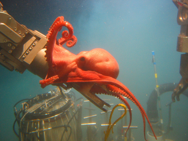A 'pregnant' octocoral, seen on a Gulf of Mexico Expedition last year. NOAA's exploration budget is 150 times smaller than that of NASA; a group of explorers meets in Long Beach this weekend to discuss ways to augment that.