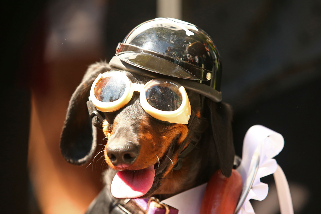 Mini dachshund Chilli, dressed as a biker dog, competes in the Hophaus Southgate Inaugural Best Dressed Dachshund competition on September 19, 2015 in Melbourne, Australia.