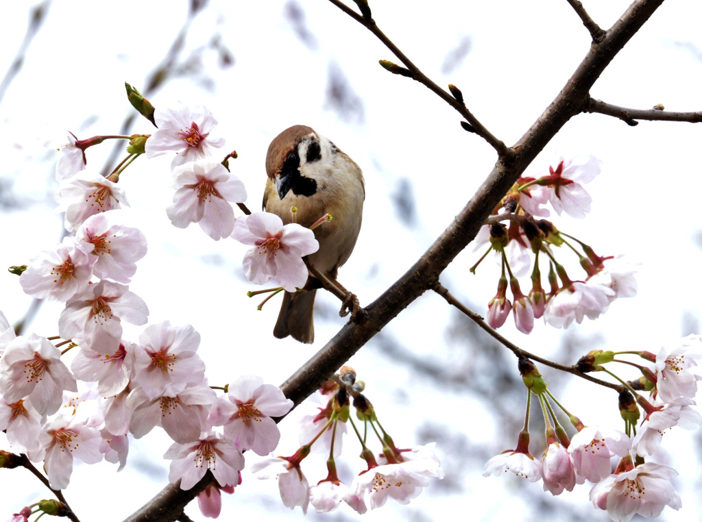 A sparrow sits on a branch of a fully bloomed cherry tree.
