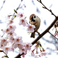 A sparrow perched on a cherry blossom