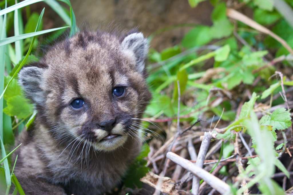 A photo of P-54, a four-week-old mountain lion kitten living in the Santa Monica Mountains. The National Park Service announced her birth on Monday, April 3, 2017.