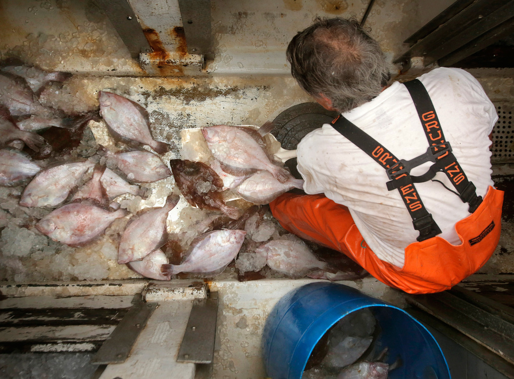A fisherman shovels grey sole, a type of flounder, out of the hold of a ship at the Portland Fish Pier in Maine, September 2015. New research finds the ability of fish populations to reproduce and replenish themselves is declining across the globe. The worst news comes from the North Atlantic, where most species are declining.
