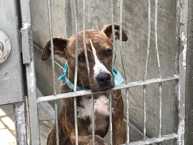 A rescue dog waits to be adopted at the Pasadena Humane Society.